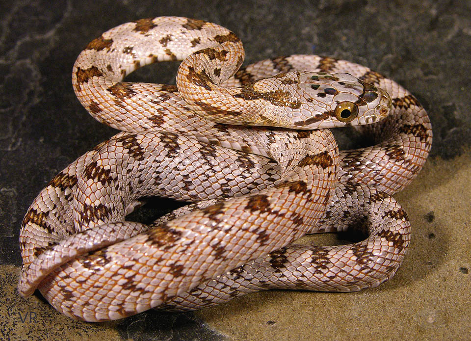 Metallic Bairds Rat Snake