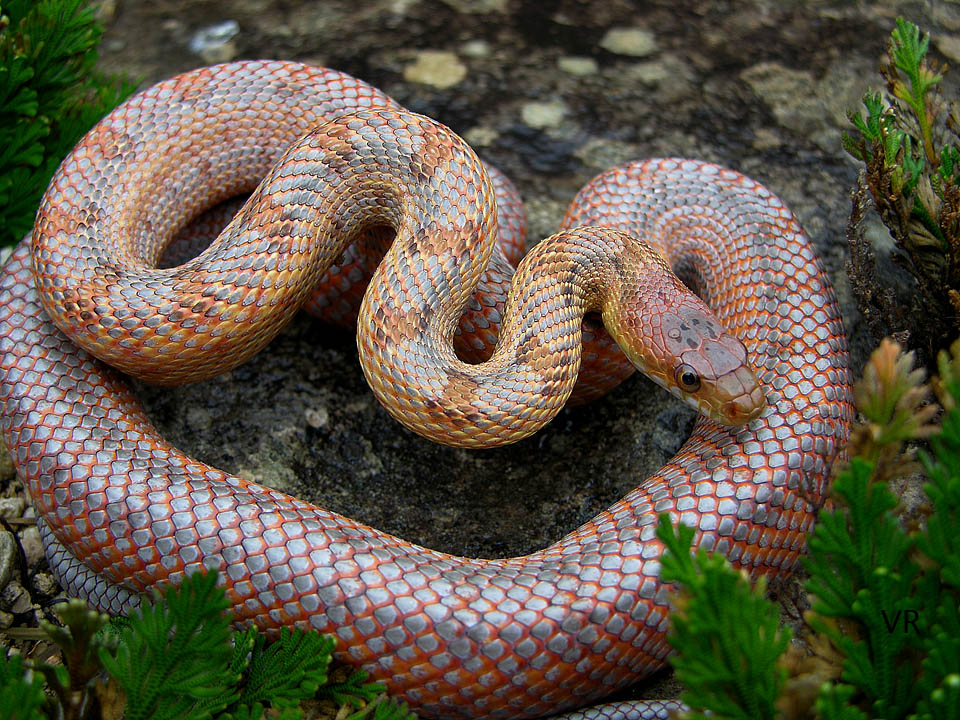 Metallic Rat Snake