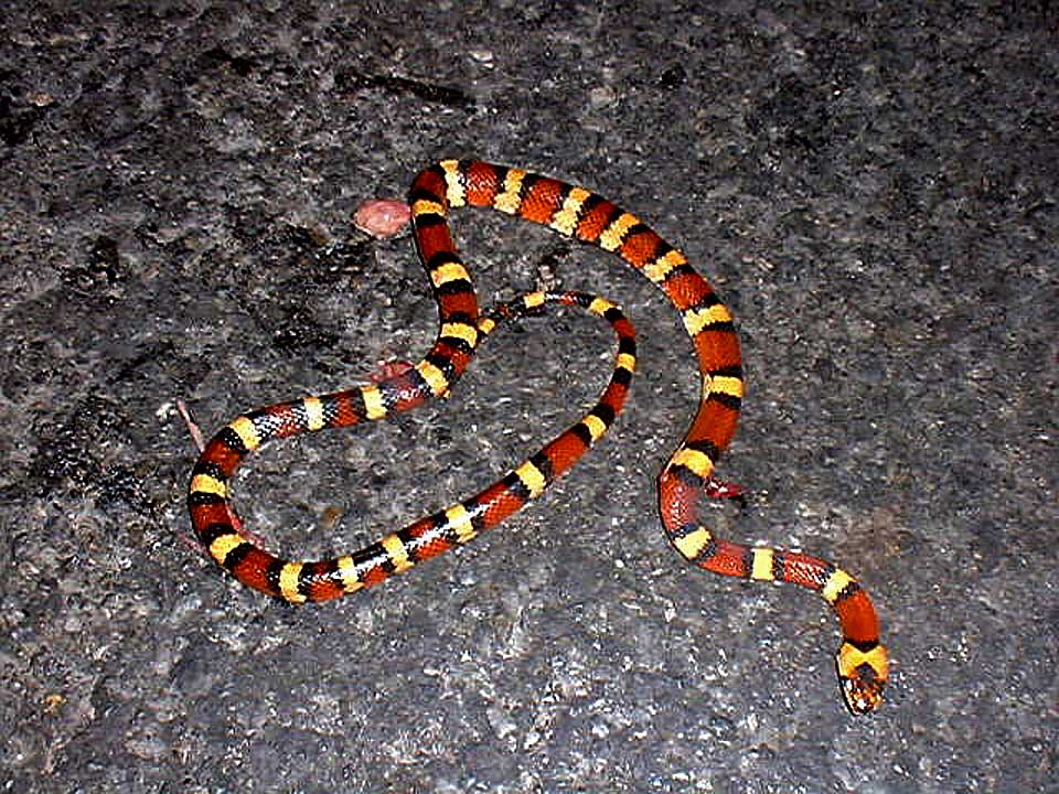 Variable Kingsnake - Thayeri
